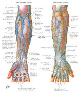 hệ thống tĩnh mạch cánh tay