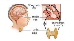 Sản xuất hormone tuyến yên